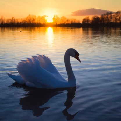 Mute Swan at Sunset