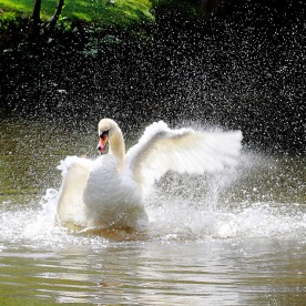 Swan on River Medway, Tonbridge, Kent, England, U.K.